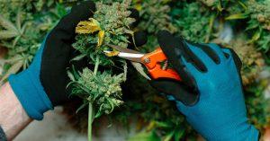 Home grown weed